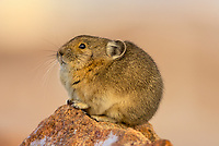 American pika (Ochotona princeps).  Beartooth Mountains, Wyoming/Montana border.  Sept.  This photo was taken in alpine setting at around 11,000 feet (3350 meters) elevation.  Sitting in last sunlight of day.