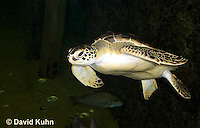 0606-0901  Atlantic Green Sea Turtle Swimming Underwater, Chelonia mydas  © David Kuhn/Dwight Kuhn Photography
