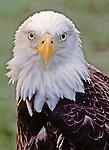 Bald Eagle Portrait taken at an injured bird sanctuary, Florida