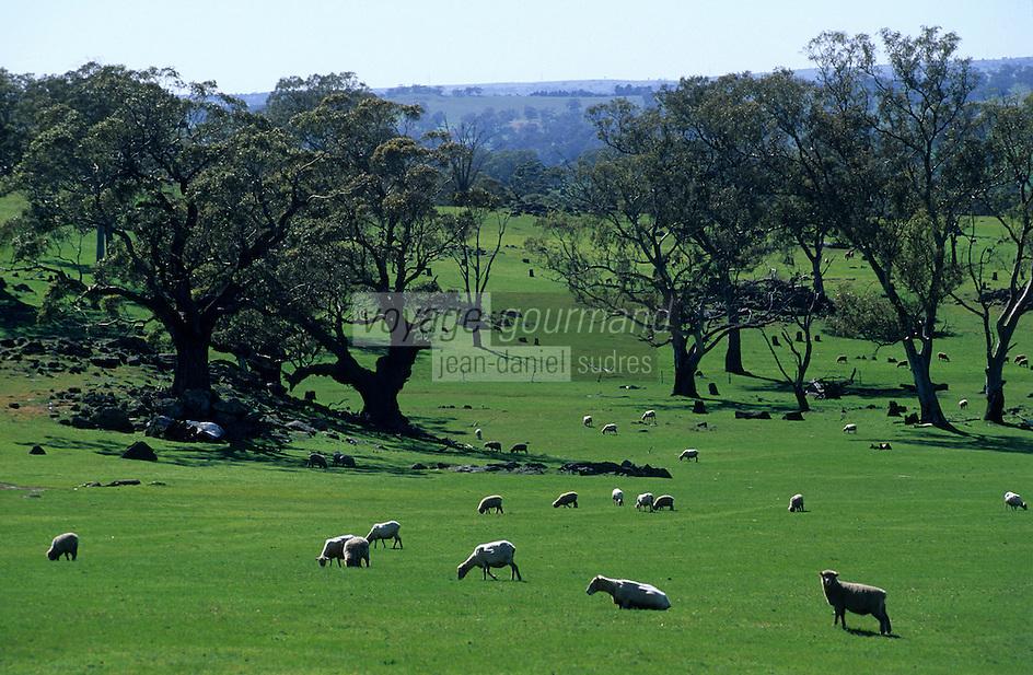 Océanie/Australie/Australie Méridionale/Barossa Valley : Moutons en pâturage et eucalyptus