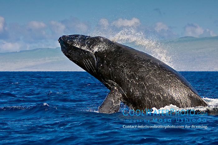humpback whale, Megaptera novaeangliae, breaching - chin breach with jaw clap, Hawaii, USA, Pacific Ocean