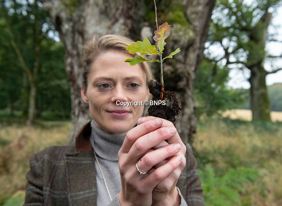 BNPS.co.uk (01202 558833)<br /> Pic: PhilYeomans/BNPS<br /> <br /> Old and the new - Rural manager Rachel Brodie with one of the tiny saplings next to an ancient oak.<br /> <br /> Ancient oaks harvested for tiny acorns...<br /> <br /> Foresters at Blenheim Palace have painstakingly gathered 3,000 acorns in a bid to guarantee the future of Europe's largest gathering of ancient oak trees.<br /> <br /> They were picked up in High Park, a wooded area of the 2,000 acre Blenheim Estate in Oxon, Sir Winston Churchill's birthplace.<br /> <br /> It was originally created by Henry I as a deer park in the 12th century, with some surviving trees still standing 900 years on.<br /> <br /> The tiny oaks are currently being raised in glasshouses and small plantations and will eventually be planted across the estate.<br />  <br /> It is hoped the saplings, all direct descendants of the original trees, will help ensure the legacy of Blenheim's ancient oaks lives on for centuries to come.