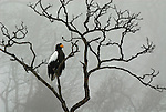 Steller s Sea Eagle, Haliaeetus pelagicus, perched high in tree branches, foggy day, Okhotsk Sea, Rausu, Hokkaido, Japan, japanese, Asian, wilderness, wild, untamed, photography, ornithology, snow, bird of prey, Vulnerable.Japan....