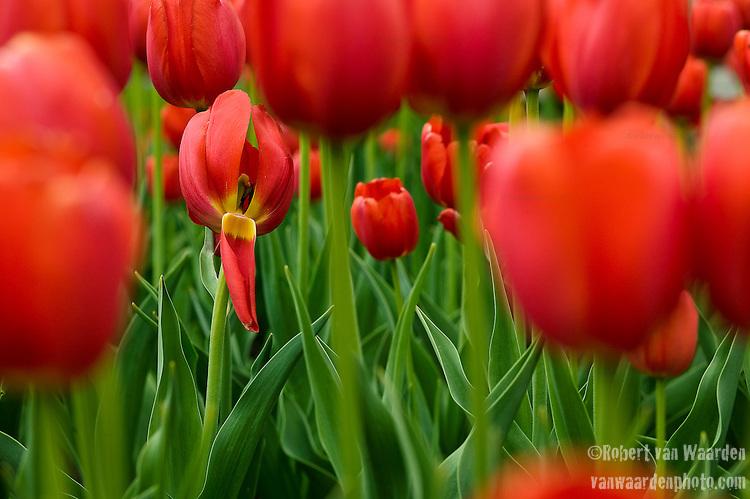 A broken tulip.