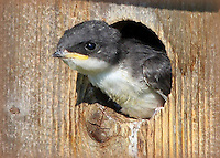 Courtesy photo/PHYLLIS KANE<br /> A PEEK OUTSIDE<br /> A baby tree swallow looks out from a nest box at the Beaver Lake nursery pond. The Arkansas Game and Fish Commission raises fish in the pond for stocking into Beaver Lake. It is open for wildlife watching and hiking around the pond. Phyllis Kane visited the nursery pond on June 25.