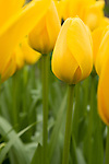 Yellow tulips at the Keukenhof in the Netherlands.