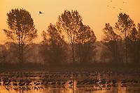 Common Crane (grus grus), Kranich, <br /> Brandenburg, Germany