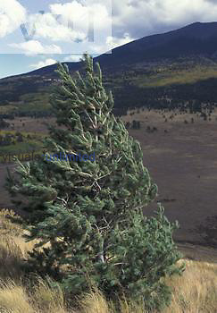 Limber Pine blowing in the wind (Pinus flexilis), Western North America.