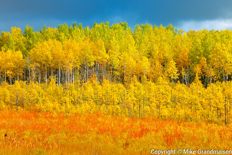Autumn colored trees <br /> Meadow Lake<br /> Saskatchewan<br /> Canada