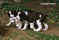 SH22-021z  Dog - English Springer puppies playing