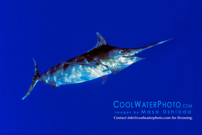 blue marlin, Makaira nigricans, off Kona Coast, Big Island, Hawaii, Pacific Ocean