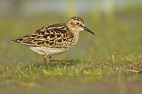 Least Sandpiper - Calidris minutilla - breeding adult
