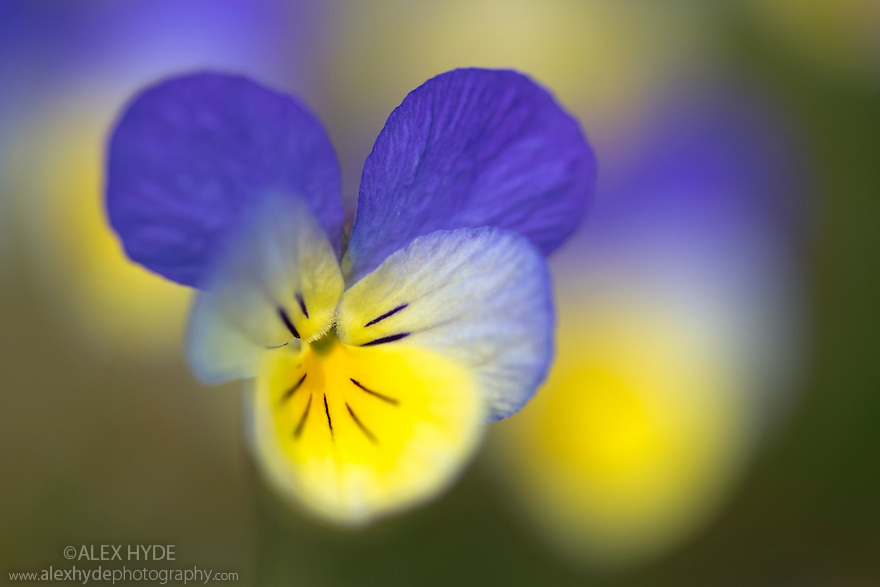 Mountain Pansy {Viola lutea} Peak District National Park, Derbyshire, UK. May.