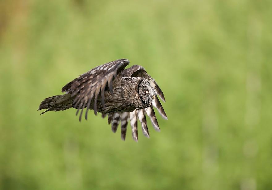 Great grey owl (Strix nebulosa) in flight, Bergslagen, Sweden.