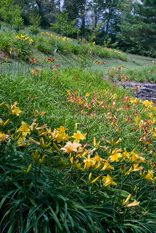 Daylilies Naturalizing On Hill Plant Flower Stock Photography