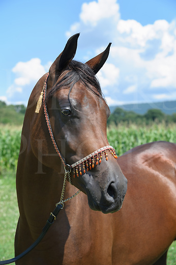 Bay horse head shot portrait, an Arabian stallion with traditional decorative jeweled halter.