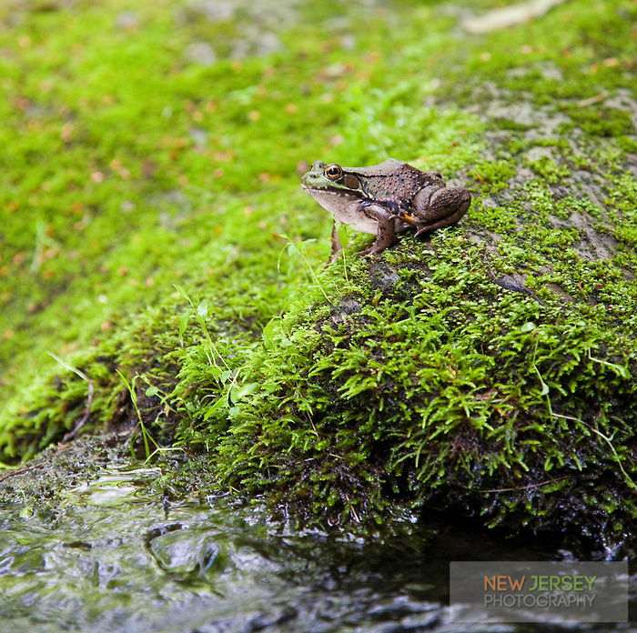 Green Frog, Flatbrook River, Delaware Water Gap, New Jersey