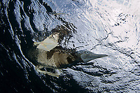 brown booby bird, Sula leucogaster, at Sea of Cortez, Baja California, Mexico, Pacific Ocean