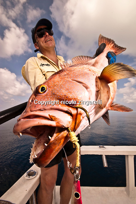 Maldives Islands: November 2008 a recreational fisheman is holding a large Coral Trout (Plectropomus leopardus), a grouper endemic of the Indian Ocean. The fish has been caught while jigging, using metal lures to fish near the bottom. Is a trophy fish with beautiful colors
