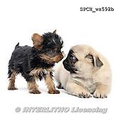Xavier, ANIMALS, REALISTISCHE TIERE, ANIMALES REALISTICOS, FONDLESS, photos+++++,SPCHWS592B,#A#
