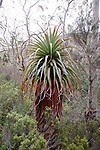 Pandanus Heath-Richea pandanifolia, Mt Field National Park, Tasmania