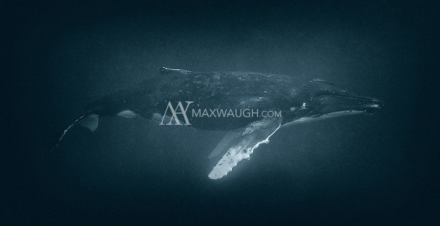 Another tinted monochrome conversion of a humpback whale in profile.