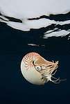 Nautilus under water surface, Nautilus pompilius