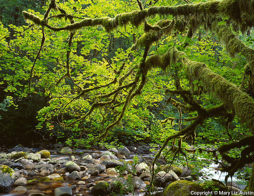 Wallace Falls State Park, WA <br /> Moss covered vine maple (Acer circinatum) trunks extending over the boulder strewn Wallace River