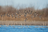 Long-billed Dowitcher (Limnodromus scolopaceus), flock in flight, Welder Wildlife Refuge, Sinton, Texas, USA