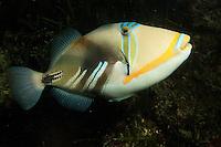 Picassofisch, Picasso-Fisch, Gemeiner Picassodrückerfisch, Picasso-Drückerfisch, Rhinecanthus aculeatus, Picasso fish, humuhumu, blackbar triggerfish