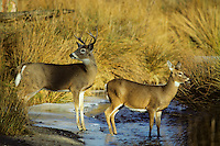 White-tailed deer doe and buck crossing small stream.  Western U.S., fall.