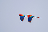 scarlet macaw, Ara macao, pair, flying, Tambopata Province, Peru, South America