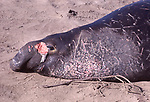 Wound on face of bull elephant seal