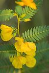 Partridge Pea wildflower on the prairie