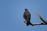 Common Black Hawk, Big Bend National Park, Texas