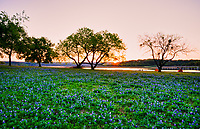 Springtime Bluebonnets - Bluebonnet along the river at sunrise just as the sun ray pop over the horizon. The Texas bluebonnet is very popular wildflower as people come from long way off just to see them.  I have met people who traveled from California who came to see the bluebonnets. Of course not all years are great it has to do with the fall rains not enough and these hardy plants may not show their best, but just wait a year and maybe the next year will do it. In any case the Texas bluebonnet is still the most popular wildflower people have festival for them, name their towns as the bluebonnet capital so who are we to question them.  We loved the tranquility of this image with the sunrise over the water and a nice field of bluebonnets with a couple of tents along the river edge. Spring time in the Texas hill country can be magical.