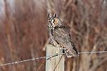 Long-eared owl (Asio otus), Canada