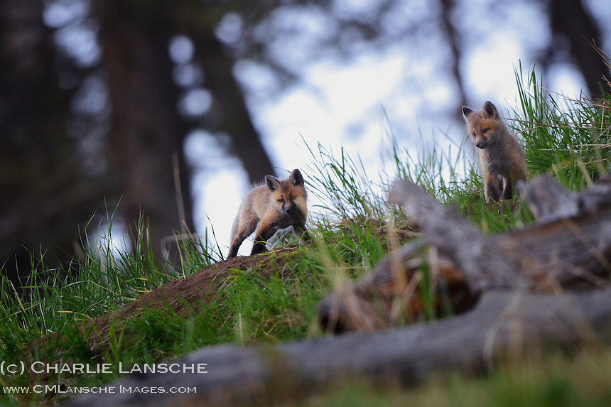 Red fox kits near there Lamar Valley den.