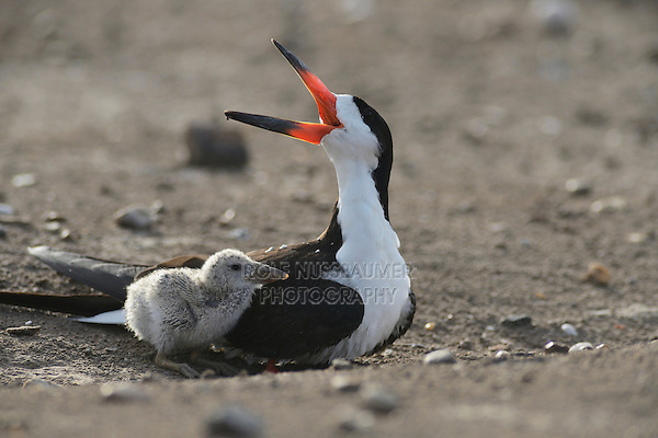 Black Skimmer (Rynchops niger), adult with young calling, Port Isabel, Laguna Madre, South Padre Island, Texas, USA