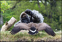 Goose almost cooked by angry gorilla.