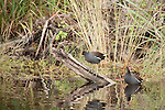Ding Darling National Wildlife Refuge, Bailey Tract, Sanibel Island, Florida; two Common Gallinule (Gallinula galeata) birds in the water near the shore © Matthew Meier Photography, matthewmeierphoto.com All Rights Reserved