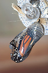 Butterfly Chrysalis, Monarch, Danaus plexippus, Emergent Sequence Image Number 4 of 6