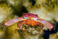 Guard Crab, Trapezia sp., with a clutch of eggs, defending its host Acropora coral, Tulamben, Bali, Indonesia. Pacific Ocean