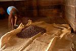 Sacan el cacao al patio.  EL almacen donde guardan el cacao tiene el  suelo de madera para la conservacion del cacao. Este huele de una manera muy especial que se mezcla con el sudor.  Chuao. Estado Aragua. Venezuela. © Juan Naharro