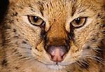 Serval portrait (captive)