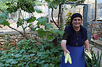 Lin-Pogradec-Albania - August 02, 2004---A woman from the village of Lin harvesting cucumber in her home garden; region/village of project implementation by GTZ-Wiram-Albania (German Technical Cooperation, Deutsche Gesellschaft fuer Technische Zusammenarbeit (GTZ) GmbH); agriculture-people-portrait---Photo: © HorstWagner.eu