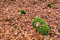 Forest floor covered with autumn leaves and green moss covered rock, Oberpfalz, Bavaria, Germany