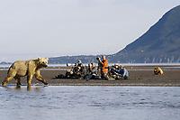 A group of photographers observe Paula, a well-known kodiak grizzly bear (Ursus arctos middendorffi) mother at Hallo Bay.