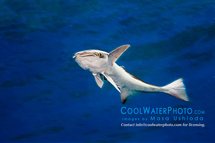 Sharksucker, Echeneis naucrates, West End, Grand Bahamas, Atlantic Ocean