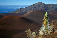 Full bloom silversword and small young plant on the slopes of the crater in HALEAKALA NATIONAL PARK on Maui in Hawaii overlooking the Pacific Ocean